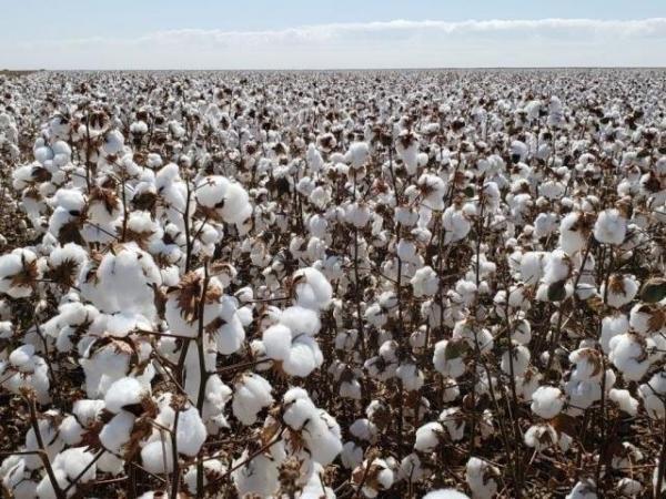 Campo de algodão no norte do Estado, que concentra a produção. (Foto: Robson Carlos dos Santos/Divulgação)