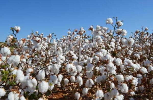 Edna Santos/Embrapa / Algodão está entre produtos que representam mais de 50% do resultado obtido pela lavoura
