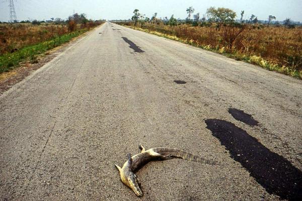 Com 3 mil mortes por ano, BR-262 em MS é a mais letal do país para fauna silvestre