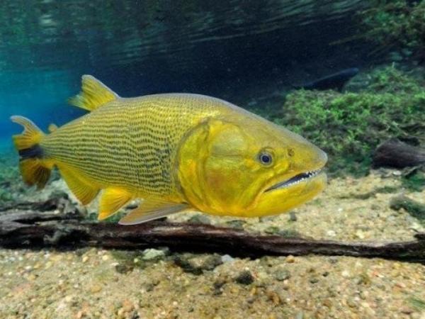 Lei proíbe a pesca e comercialização do Dourado por cinco anos no Estado