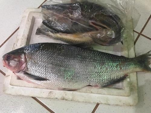 Mulher é presa e multada após capturar peixe protegido por lei em MS