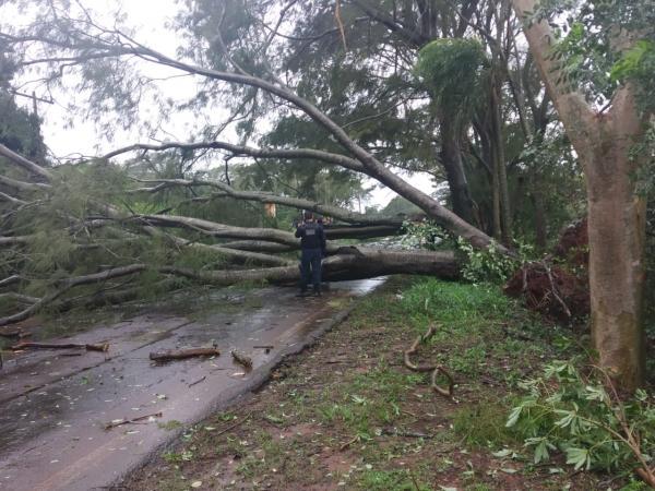 Arvore caiu entre Deodápolis e Lagoa Bonita e pista ficou interditada na MS 276