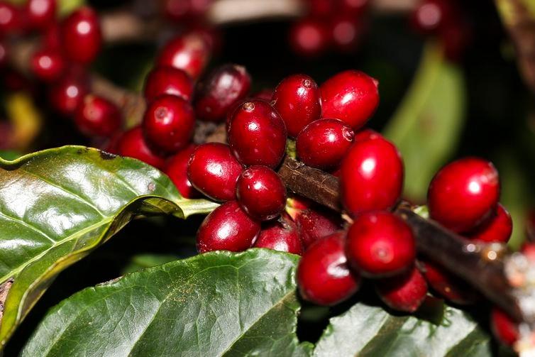 Plantação de Café - Valter Campanato/Agência Brasil