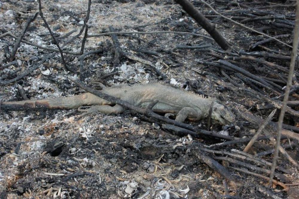 Bombeiros têm encontrado animais carbonizados na área atingida pelo fogo - Chico-Ribeiro/Governo de Mato Grosso do Sul