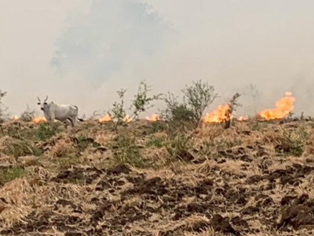 Gado aprisionado pelos chamas que se alastram pela região pantaneira (Foto: Angelo Rabelo/IHP)