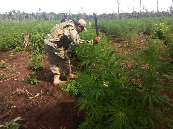 Policiais durante destruição das plantações na fronteira. Foto: Senad