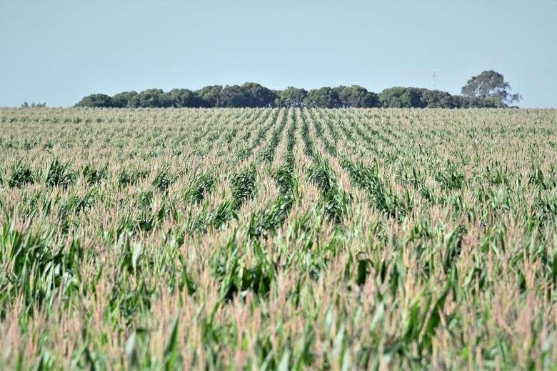 Com clima regular para desenvolvimento do milho, MS já vendeu 44% da safra a colher