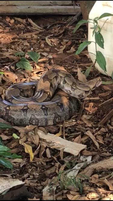 Jiboia de quase 3m é capturada em obra do Aquário do Pantanal